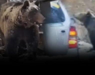 VIDEO -Pentru o poză bună, oamenii ademenesc urșii în căutare de hrană