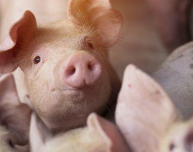Cifre îngrijorătoare: 443 de focare de pestă porcină sunt active în România