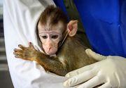 Cum se transmite COVID-19 după vaccinare. Un institut al armatei americane a făcut teste pe maimuțe