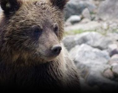 VIDEO -Un pui de urs flămând terorizează comunitatea, statul tolerează