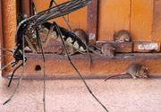 VIDEO -Șobolani, căpușe și țânțari amenință Capitala. Nicio deratizare