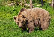Cel mai mare urs brun din România a fost ucis de Prințul de Liechtenstein pentru suma de 7000 de euro