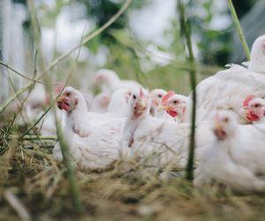 O nouă amenințare după coronavirus: gripa aviară. Sute de mii de cazuri au fost deja înregistrate în România