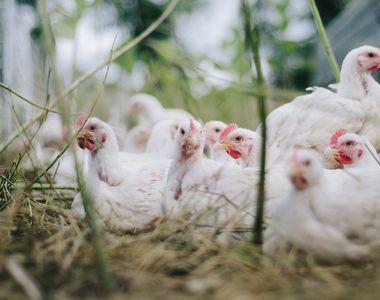 O nouă amenințare după coronavirus: gripa aviară. Sute de mii de cazuri au fost deja...