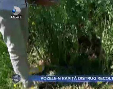 POZELE-N RAPIȚĂ DISTRUG RECOLTELE