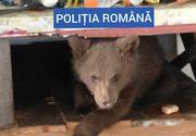 Șocant: Urs ținut captiv în casă de către un român. Poliția a găsit 40 de kilograme de carne de urs