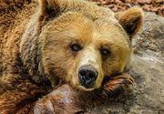 Un urs a intrat într-o pensiune din Băile Tuşnad, iar altul a distrus un magazin din localitate