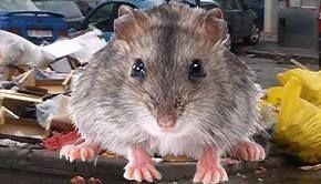 VIDEO - Gunoaiele de pe străzi din Capitală au atras șobolanii la vedere