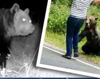 VIDEO - Urșii, din ce în ce mai multe întâlniri cu oamenii în habitatul natural