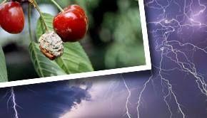 VIDEO - Recoltele de cireșe, distruse de frigul și ploile din primăvară