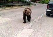 Incident șocant în centrul staţiunii Sinaia. Adolescentă, salvată din fața unui urs