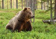 VIDEO   Atac la stână: Cioban ucis de urs