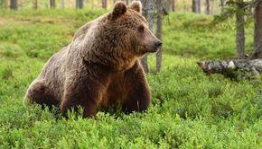 VIDEO | Atac la stână: Cioban ucis de urs
