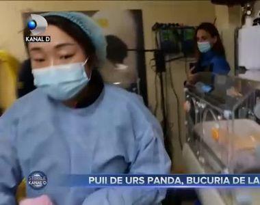 Puii de urs panda, bucuria de la ZOO