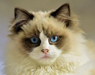 Ziua Internațională a Pisicii. Top cele mai frumoase rase de pisici