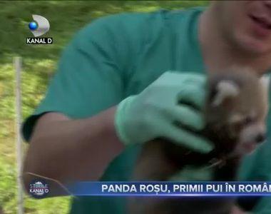 Panda rosu, primii pui in Romania