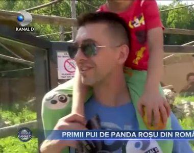 Primii pui de panda rosu din Romania