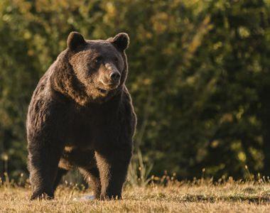 Urs îndepărtat de jandarmi din curtea unei gospodării din Neamț