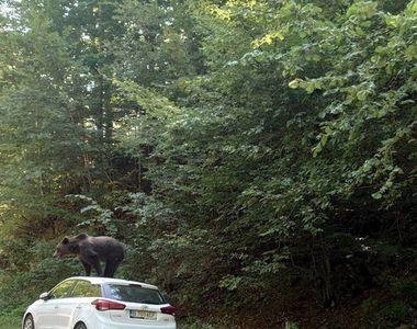 VIDEO| Incident neașteptat pe drumul spre munte. Un urs s-a urcat pe mașina unor turiști
