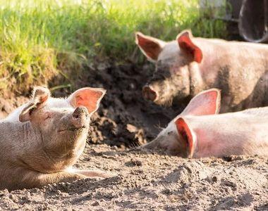 Focar de pestă porcină africană, depistat la cea mai mare fermă de porci din Buzău