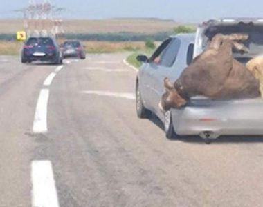 Imagini inedite în trafic. Un șofer a înghesuit în portbagaj o vacă și un berbec