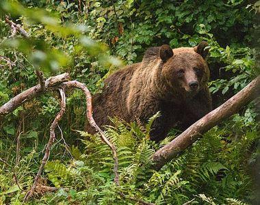 Un tânăr de 25 de ani, rănit grav după ce a fost atacat de urs
