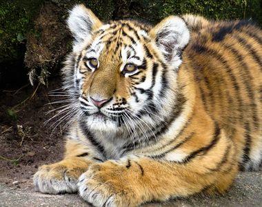 Grădina zoologică care își vaccinează animalele împotriva COVID-19. Ce au transmis...