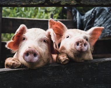 Focar de pestă porcină într-una dintre cele mai mari ferme din judeţul Buzău