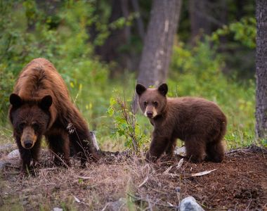 14 apeluri au fost înregistrate în ultimele două zile pentru îndepărtarea unor urşi în...
