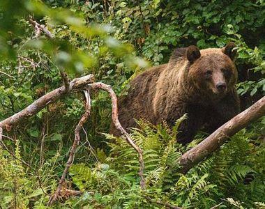 Bărbat atacat de urs în județul Prahova. Victima s-a ales cu răni grave în urma atacului