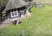 O capră și un cocoș i-au salvat viața unei găini