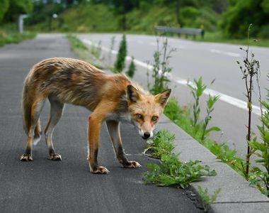 VIDEO- Ursul păcălit de vulpe la Brașov