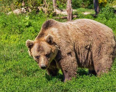 Intervenție dificilă pentru pompierii din Predel. Un pui de urs a rămas blocat cu capul...
