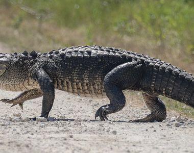 Un crocodil a ucis o fetiță sub ochii prietenilor ei, în Indonezia. Copiii se aflau la...