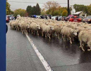 Spectacolul transhumanţei la Madrid: Turme de oi au traversat capitala Spaniei în...