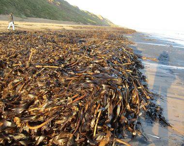 Crustacee și alte viețuitoare marine, vii și moarte,  adunate pe o plajă din Marea...