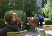 Scene de cascadorii rasului in centrul orasului Targoviste! O vacuta a iesit la pascut, dar uite ce au facut politistii ca sa o prinda!