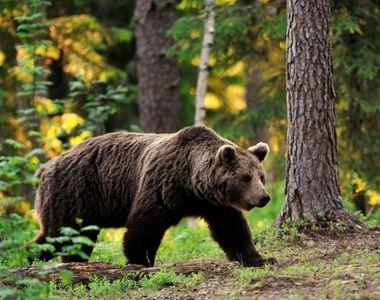 Tanar de 26 de ani, atacat de urs in zona Brasov! A ajuns cu rani multiple la spital!