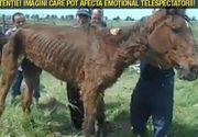 Un cal lasat sa moara in chinuri pe un camp din Giurgiu! Animalul a fost dus acolo chiar de stapanul sau!