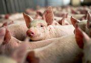 Stare de alerta in Botosani dupa ce s-a depistat un focar de pesta porcina la granita cu Romania!