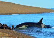 Imagini unice! Momentul in care o orca isi risca viata pentru a manca un leu de mare. Spectacol la malul marii