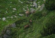 Act infiorator de braconaj. O capra neagra a fost ucisa in Muntii Rodnei sub privirile unor turisti. Infractorii au fost fotografiati in plina actiune