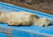 Imagini dramatice! Cel mai trist urs polar din lume a murit in conditii mizerabile! Arturo a fost fortat sa traiasca 23 de ani la 40 de grade Celsius