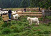 Controale la stânele din Harghita. Sunt vizati ciobanii care au mai mult de trei caini