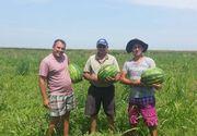 Familia de pastori care face bani din munca la camp. Sunt cei mai mari producatori de pepene verde si exporta in Germania si Austria