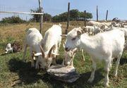 """Au o ferma cu peste 400 de capre, dar afacere nu le merge bine deloc: """"Caprele le taiem si le dam la caini! Ne-a mai ramas pasiunea pentru animale, atat!"""""""