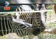 Gradina Zoologica din Timisoara are oaspeti noi! Doua zebre de la circ si cea mai cuminte antilopa