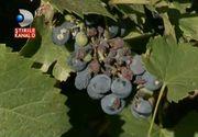 Dispare zaibarul oltenilor? Productia slaba de struguri de anul acesta este de vina. Viticultorii presimt deja ca abia vor avea ce turna in pahar, la toamna!
