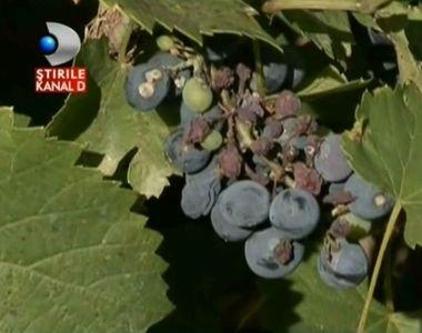 Dispare zaibarul oltenilor? Productia slaba de struguri de anul acesta este de vina....