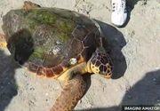 Broasca testoasa uriasa, gasita la Vadu, a ratacit 3.000 de km prin 4 mari. Ea a fost dusa la delfinariul din Constanta.